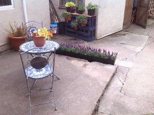 This is a 'temporary patio' in our garden whilst we get on with work on the house and allotment. It is lovely to enjoy attractive areas in between bouts of renovation, weeding and watering. The French Lavender was a bargain from Lidl and it prettily creates an edge to the concrete in some cheap but effective plant holders from The Original Factory Shop. The blues and purples show off the new pallet plant-holder Chris made, to real advantage.