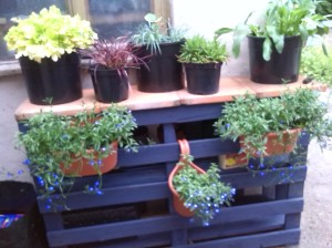 Of course pallets can be useful in so many ways and Chris has used an idea from a friend on Facebook to make me a plant stand and useful shelving for my various pots, poles and garden equipment. Many thanks to Wes and Rosa for giving me the plants that they had spare - daisies, hollyhocks, carnations and delicious marjoram. They are all doing well.