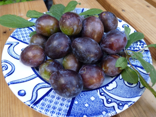 The culprits - these are the fruits that Chris took to be Damsons and I in turn made into so-called Damson Jam - oh no, on being judged at the 65th Barton Allotment Society Show on Saturday it was revealed that these fellas were NOT damsons, oh no, they were identified as a type of old-fashioned plum (that could sum up my husband, tee hee) and so the jam was relegated to second place due to mislabelling! You have to be so careful when you enter the arcane world of the Horticultural Schedule. This was not the end of the story though, as when I rang my best friend Renee in Sutton and seasoned Show Secretary of the Benwell Road Allotment Society, it appears from my description that what my husband had scrumped and I had cooked and that had been adjudged as plum was in fact - Myrabelle. Take a look, what do you think, all answers on a postcard, please.