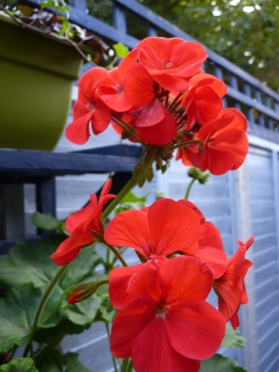 No garden is complete without the brilliant bursts of geranium scarlet and I just love the smell when they are deadheaded.