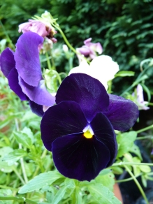 Purple Pansies - who can resist their velvety faces.