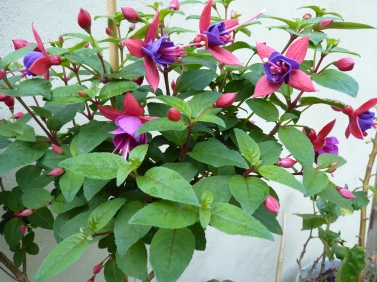 An elegant standard Fuchsia growing in a tall azure pot given as a house warming present, by Renee and Jim.