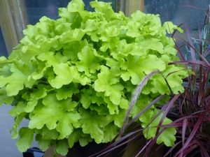 I love this lime green leaf - it is Yellow Jazz Heucheria and we bought it at the new and wonderful local nursery - Deepdale Garden Centre. We can really recommend it.