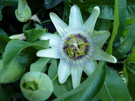 A beautiful and abundant Passionflower that is currently scrambling up the back wall of the house and over the useful but unattractive water butt.
