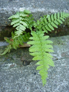 A stray fern that has tenaciously graced the edge of the paved area - so beautiful.