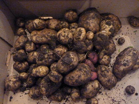 More lovely potatoes from the allotment.